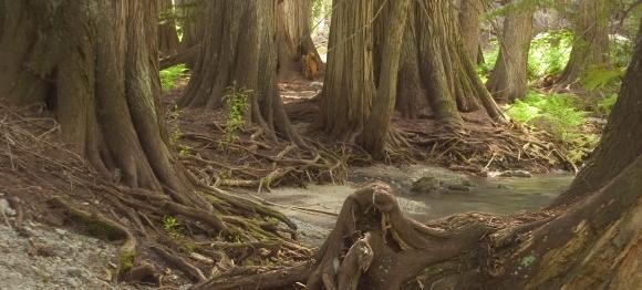 cedar roots