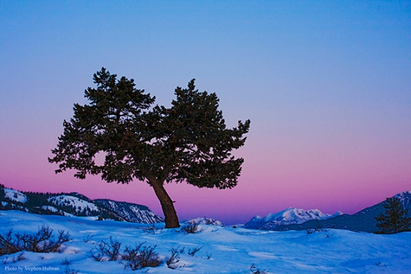 lonely pine in the Methow Valley, Washington